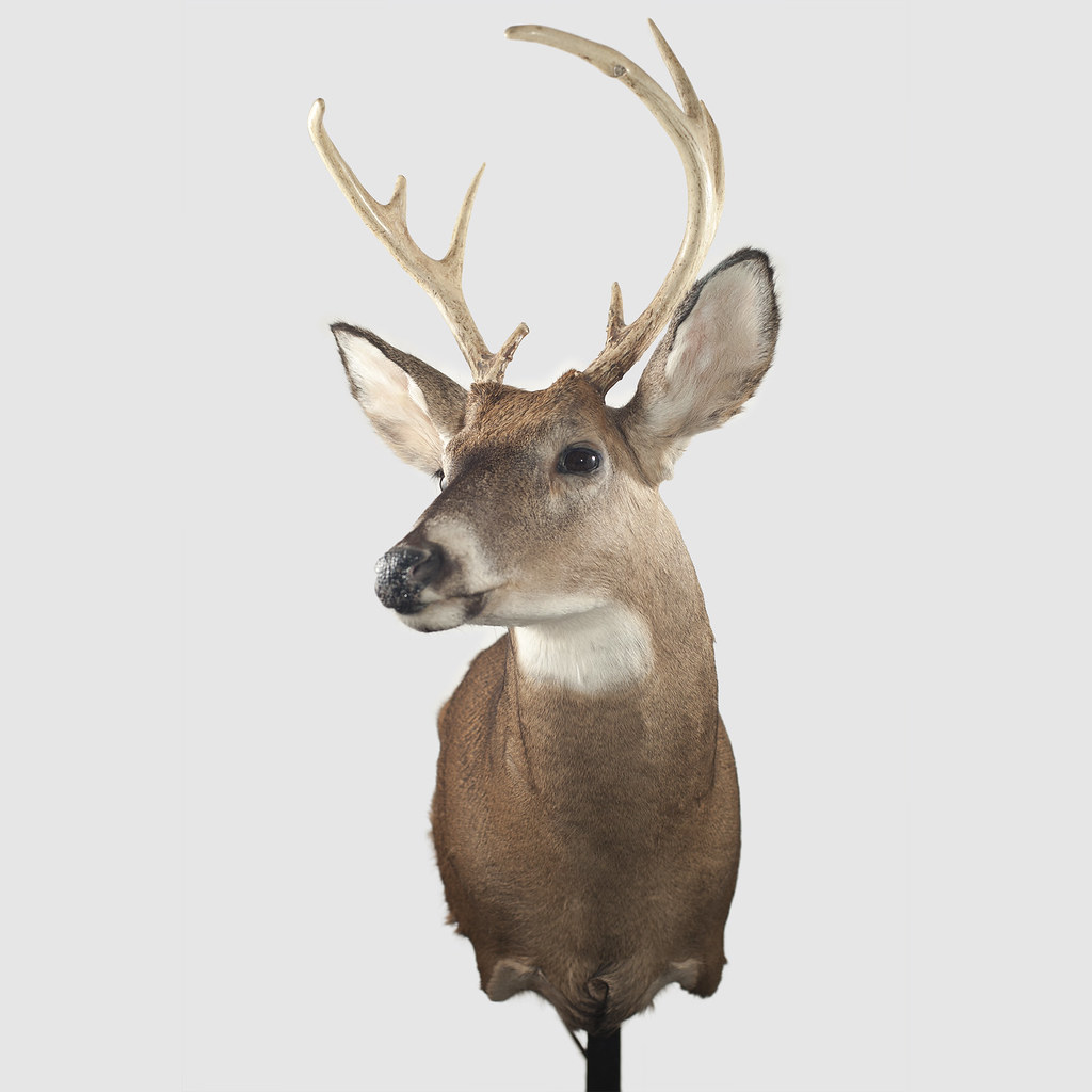 The taxidermy head of a stag