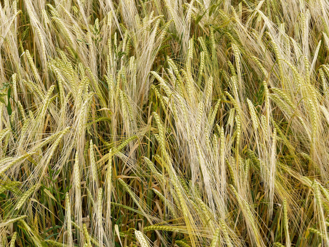 Barley used in making single malt whisky.