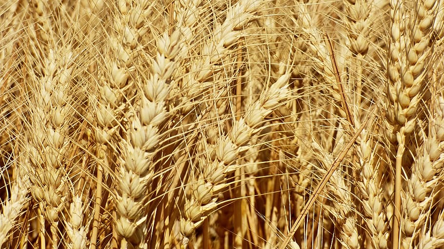 Wheat that is often used in the making of single grain whisky.