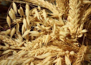 corn-4454585_1280